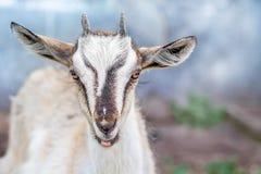 Portret van een kleine geit in de landbouwbedrijven op een vage achtergrond c royalty-vrije stock fotografie