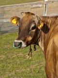 Portret van een koe Stock Afbeelding