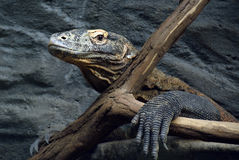 Portret van een Komodo-draak Royalty-vrije Stock Foto's