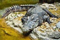 Portret van een Krokodil Royalty-vrije Stock Foto's