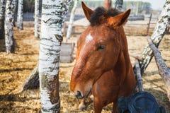 Portret van een krullend-geleid rood paard in een zonnige stabiele yard stock foto's