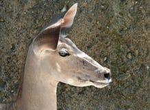 Portret van een Kudu Royalty-vrije Stock Foto