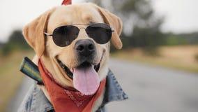 Portret van een Labrador in zonnebril stock videobeelden