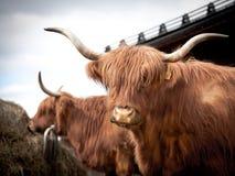 Portret van een lange gehoornde koe Stock Afbeelding