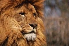 Portret van een leeuw Stock Afbeelding