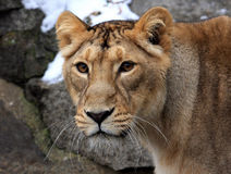 Portret van een leeuw Stock Foto