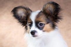 Portret van een leuk puppy Papillon Royalty-vrije Stock Foto's