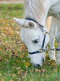 Portret van een leuk wit paard die gras eten stock foto's