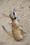 Portret van een leuke meerkat die de hemel bekijken royalty-vrije stock afbeelding