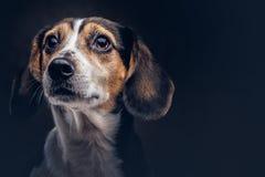 Portret van een leuke rassenhond op een donkere achtergrond in studio Royalty-vrije Stock Foto
