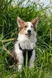 Portret van een leuke zittingshond, bevlekt mengen-ras voor stock afbeeldingen