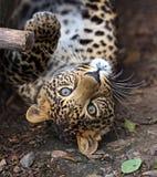 Portret van een luipaard Royalty-vrije Stock Foto's