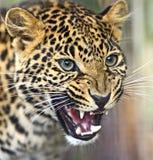 Portret van een luipaard Royalty-vrije Stock Foto