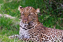 Portret van een luipaard die op het gras liggen Kenia, Afrika stock foto's