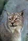 Portret van een lynx   stock foto's