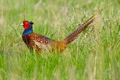 Portret van een mannelijke fazant Stock Afbeeldingen