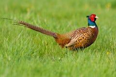 Portret van een mannelijke fazant Stock Afbeelding
