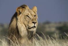 Portret van een mannelijke leeuw Stock Foto