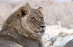 Portret van een mannelijke leeuw Stock Foto's
