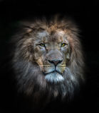 Portret van een mannelijke leeuw royalty-vrije stock foto