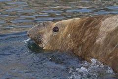 Portret van een mannelijke zuidelijke olifantsverbindingen die in de Zuidpool zwemmen Stock Afbeeldingen