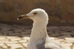 Portret van een meeuw - Portugal royalty-vrije stock foto's