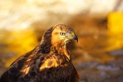 Portret van een mooi close-up van de vogelhavik stock afbeeldingen