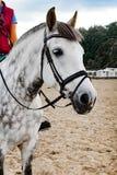 Portret van een mooi paard van Oldenburg in uitrusting op een stal royalty-vrije stock fotografie