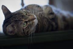 Portret van een mooie gestreepte katkat Stock Foto