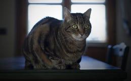 Portret van een mooie gestreepte katkat Stock Fotografie