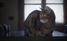 Portret van een mooie gestreepte katkat Royalty-vrije Stock Foto's