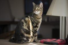 Portret van een mooie gestreepte katkat Royalty-vrije Stock Foto