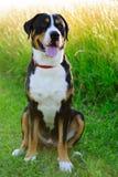 Portret van een mooie Grotere Zwitserse die Berghond, ook als Swissy wordt bekend stock afbeeldingen