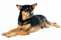 Portret van een mooie hond Stock Foto