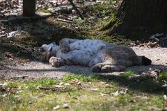 Portret van een mooie jonge witte lynx in de zon royalty-vrije stock afbeelding