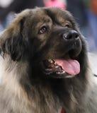 Portret van een mooie volbloed- hond royalty-vrije illustratie