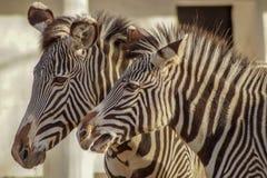 Portret van een mooie zebra royalty-vrije stock foto's