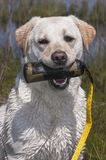 Portret van een Natte Werkende Labrador die een Opleidingsstuk speelgoed houden stock afbeeldingen