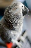Portret van een nieuwsgierige Afrikaanse grijze papegaai Royalty-vrije Stock Foto's