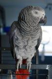 Portret van een nieuwsgierige Afrikaanse grijze papegaai Royalty-vrije Stock Fotografie