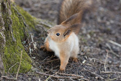 Portret van een nieuwsgierige eekhoorn Stock Afbeelding