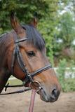 Portret van een nieuwsgierige merrie van het kwartpaard Royalty-vrije Stock Afbeeldingen