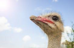 Portret van een nieuwsgierige struisvogel Royalty-vrije Stock Afbeeldingen