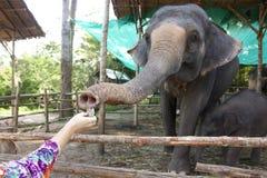 Portret van een olifant Stock Afbeeldingen
