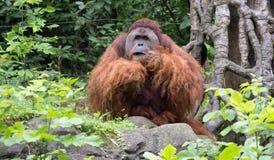 Portret van een orangoetan Royalty-vrije Stock Afbeelding
