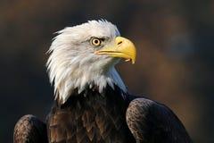 Portret van een overzeese adelaar Royalty-vrije Stock Fotografie