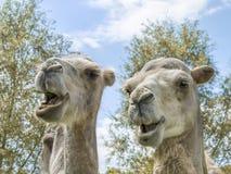 Portret van een paar kamelen (vriendelijke Camelius) Stock Foto