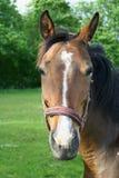 Portret van een paard Stock Foto