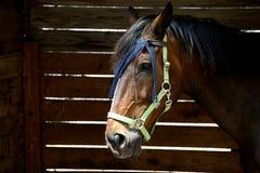 Portret van een paard van anglo Arabisch Sardinige royalty-vrije stock foto