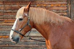 Portret van een paard in een profiel Stock Afbeelding